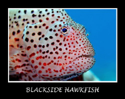 Caught this Blacksided Hawkfish resting on a coral head. ... by Stuart Ganz 